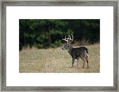 White-tailed Deer (odocoileus Framed Print by Richard and Susan Day