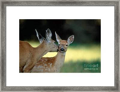White-tailed Deer Odocoileus Virginianus Framed Print