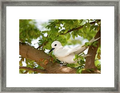 White Terns (gygis Alba Rothschildi Framed Print by Daisy Gilardini