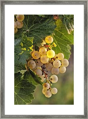 White Wine Grapes Framed Print by Teri Virbickis
