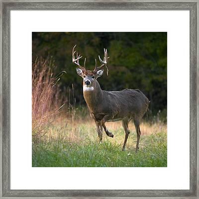 Whitetail Deer In Rut Framed Print