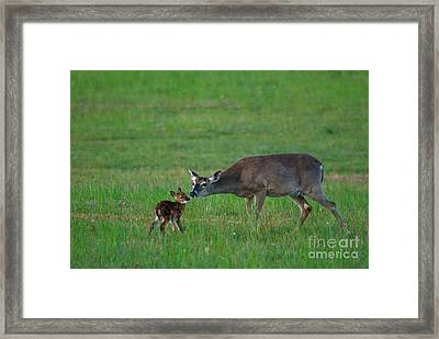 Whitetail Deer With Young Framed Print