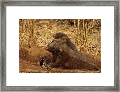 Wild Boar, Tadoba Andheri Tiger Reserve Framed Print