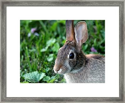 Wild Rabbit Framed Print by J McCombie