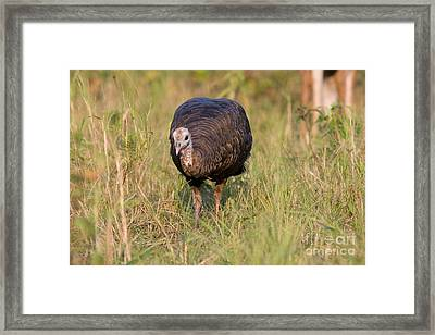 Wild Turkey Framed Print by Linda Freshwaters Arndt