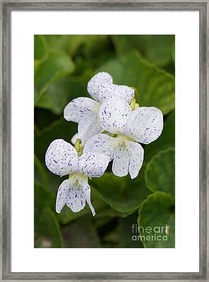 Wild Violet Flowers Framed Print