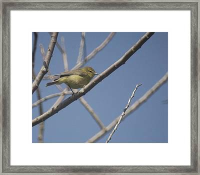 Wilsons Warbler Framed Print by Graham Foulkes