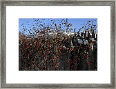 Winter Berries Framed Print by Donna Desrosiers