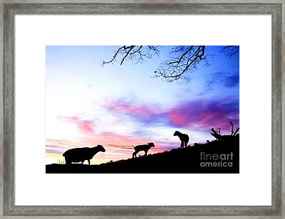 Winter Lambs And Ewes Sunrise Framed Print by Thomas R Fletcher