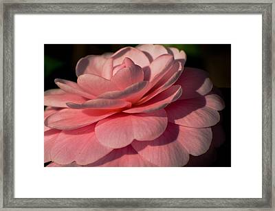 Winter Rose Framed Print