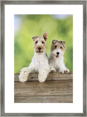 Wire Fox Terriers Framed Print by John Daniels