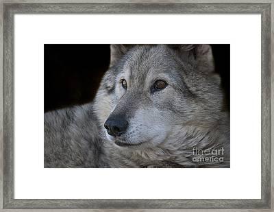 Wolf Framed Print by Juli Scalzi