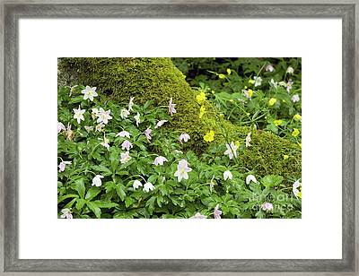 Wood Anemones Anemone Nemorosa Framed Print by Bob Gibbons