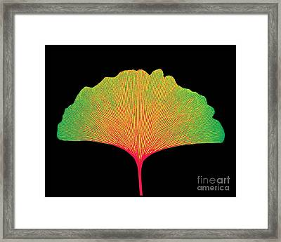 X-ray Of Ginkgo Leaf Framed Print by Bert Myers