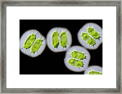 Xanthidium Antilopaeum Green Alga Framed Print by Gerd Guenther