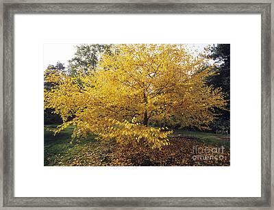 Yellow Birch Betula Alleghaniensis Framed Print