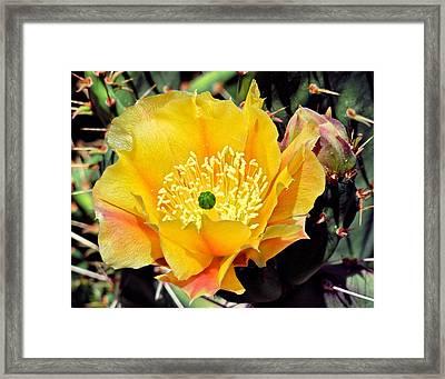 Yellow Cactus Bloom  Framed Print