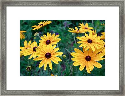 Yellow Daisy Flowers #2 Framed Print by Ann Murphy