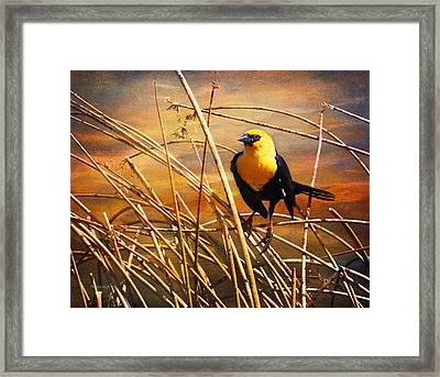 Yellow - Headed Blackbird Framed Print