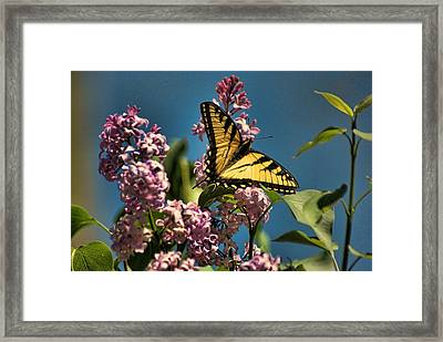 Yellow Swallowtail Framed Print