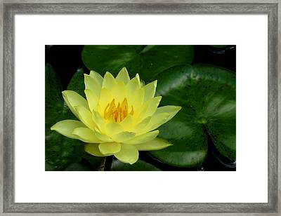 Yellow Waterlily Flower Framed Print
