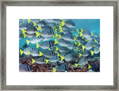 Yellowtail Surgeonfish (prionurus Framed Print by Pete Oxford