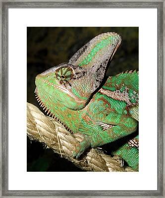 Yemen Or Veiled Chameleon Framed Print