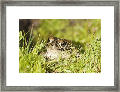 Yosemite Toad Framed Print