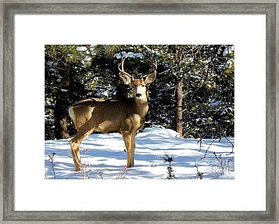 Young Buck Framed Print by Claudette Bujold-Poirier