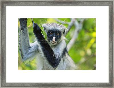 Zanzibar Red Colobus In Tree Jozani Framed Print by Thomas Marent