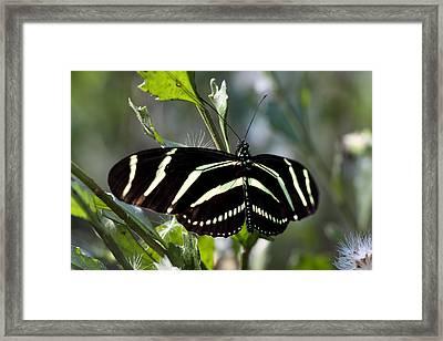 Zebra Longwing Butterfly-4 Framed Print