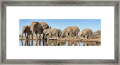 African Elephants Loxodonta Africana Framed Print