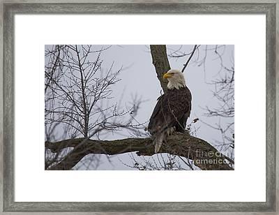 Bald Eagle In Burlington Iowa Framed Print by Twenty Two North Photography