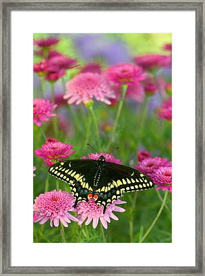 Black Swallowtail Butterfly, Papilio Framed Print