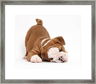 Bulldog Pup Framed Print by Mark Taylor