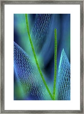 Desmids On Sphagnum Moss Framed Print