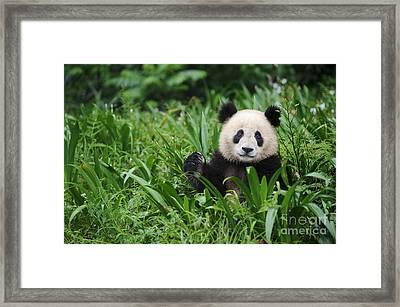 Giant Panda Framed Print by John Shaw