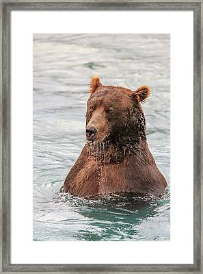 Grizzly Bears Also Called Brown Bears Framed Print by Tom Norring