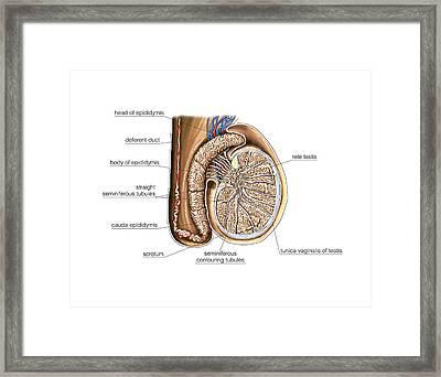 Male Genital System Framed Print