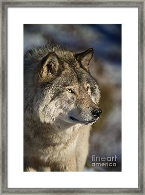 Timber Wolf Pictures Framed Print by Michael Cummings