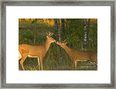White-tailed Deer Framed Print by Linda Freshwaters Arndt