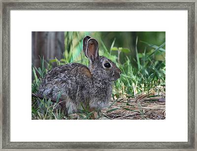 2010 Rabbit Framed Print