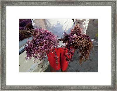 2015 Agar Seaweed Algae Coastal Farming Framed Print by Paul D Stewart