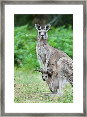Eastern Grey Kangaroo (macropus Framed Print by Martin Zwick