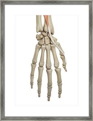 Human Hand Anatomy Framed Print