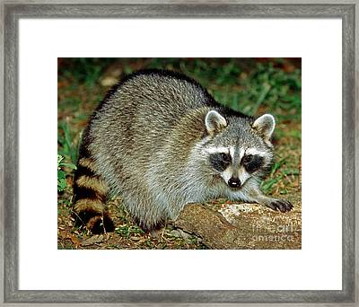Raccoon Framed Print by Millard H. Sharp