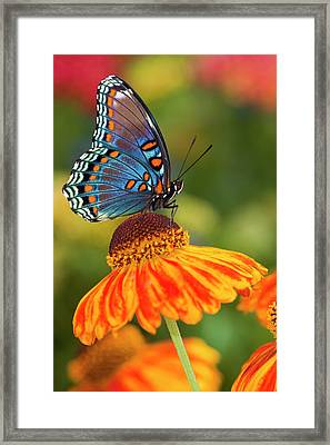 Red-spotted Purple Butterfly, Limenitis Framed Print