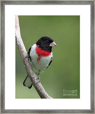 Rose-breasted Grosbeak Framed Print by Jack R Brock