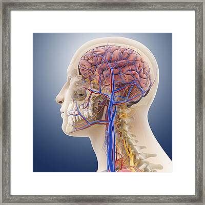 Head And Neck Anatomy, Artwork Framed Print by Science Photo Library