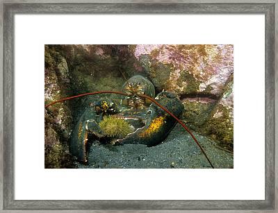 Northern Lobster Framed Print